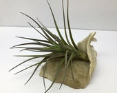 AIR PLANT crystal DRUZE • Instant Garden Gift • Tillandsia w/Free Shipping