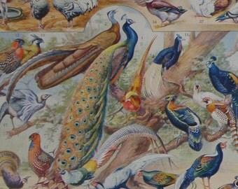PAIR of Vintage Prints of BIRDS 'Oiseaux' 1932 by Millot Antique Illustrations from Nouveau Larousse Illustre