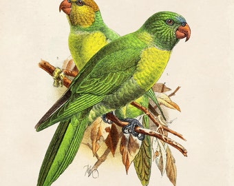 11x14 Parakeet Vintage Bird Illustration Poster Vintage Reproduction - Max Weber Birds Zoology Austin Biology Green CP279cv