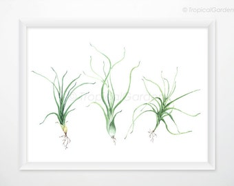 Air Plant Botanical Print - Tillandsia Watercolor Art Print / 8x11 Minimalist Print, Modern Wall Art