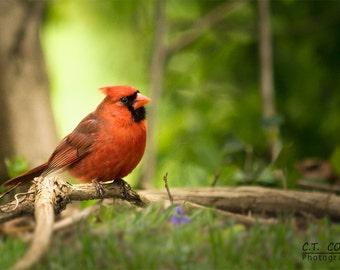 Cardinal Red Bird Nature Photography Print, Avian photography, Springtime, Bird enthusiast wall decor
