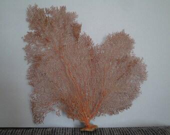 "Pacifigorgia Red  Color  Large Sea Fan 15.5"" x 15.2"" Seashells Reef Coral"