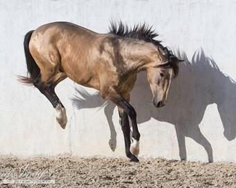 Lusitano Stallion Touching Down - Fine Art Horse Photograph - Horse - Lusitano - Fine Art Print