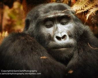 Gorilla, Safari Jungle animal, wildlife photography, Gorilla sleeping