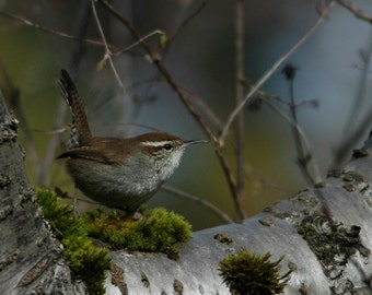 Fine art photography Wren in nature, home decor, bird decor