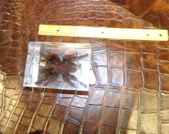 tarantula paper weight bug spider weird part piece taxidermy