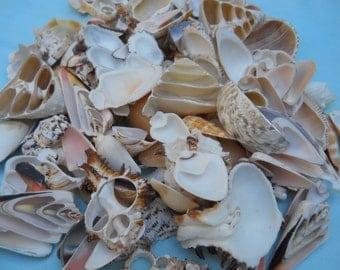 Variety of Cut Seashells  BEACH COASTAL NAUTICAL decor