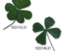 12pcs Real Four Leaf Clover - 4 Leaf Clover Wedding Favour Dried and Pressed