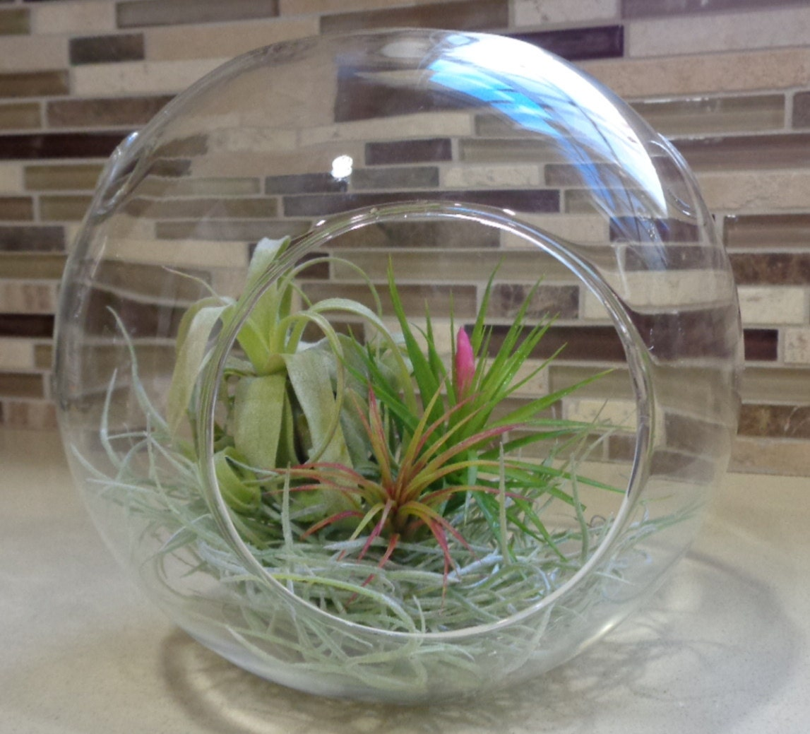 104 Best Images About Terraria On Pinterest: 6.5 Glass Bubble Plant Orb/Terrarium By CTSairplants On Etsy