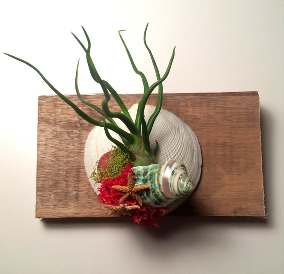 Air plant christmas ornament or wall hanging for Air plant wall hanger