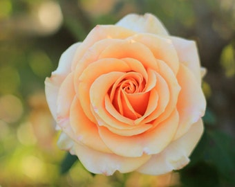 Flower Photography Photo Print - Peach Rose with Bokeh Effect - Size 8x10, 5x7, or 4x6