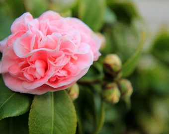 Pink Camellia - Flower Photo Print - Size 8x10, 5x7, or 4x6
