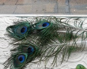 "15 - 2"" eye India Blue Peacock Feathers - Cruelty Free - Hard to Find Size"