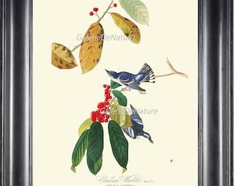 AUDUBON BIRD PRINT 8X10 Art 14 Blue Cerulean Warbler Red Berry Berries Tree Antique Beautiful Nature Home Room Wall Decor Interior Design