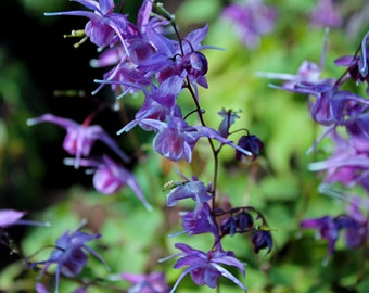 Barrenwort Longspur Epimedium (FREE SHIPPING in the U.S. only)