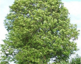 Common Ash Tree Seeds, Fraxinus excelsior - 25 Seeds