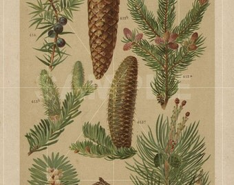 Antique Pine Print Eight Illustrations -- Original  Lithography 1830