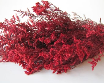 Preserved Dried Caspia Dyed Red -  Preserved Misty - Preserved Caspia - FIller Flower - DIY Fowers - Preserved Red Caspia - Dried Flowers