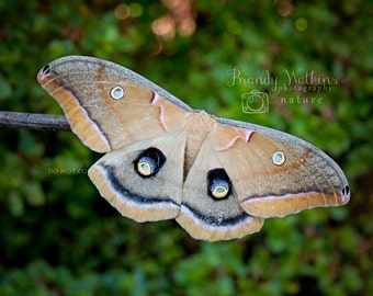 Moth wall art, Polyphemus moth, fine art photography print, nature photography, insect picture, wall decor, decor for boy, insect art