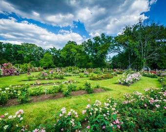 Rose gardens at Elizabeth Park, in Hartford, Connecticut. | Photo Print, Stretched Canvas, or Metal Print.