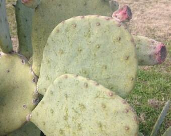 Cactus Prickly Pear Pads
