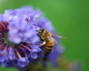 over 150 Seeds, buddleia davidii, bees, beekeeping, Honey, bees, beekeeping, Honey