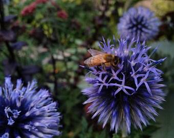 20 Seeds, Echinops ritro, bees, beekeeping, Honey