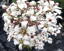 "75+ ""Spring Snow"" Pure White Saxifraga / Annual Flower Seeds"