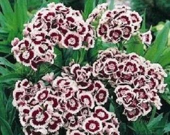 40+ Holborn Dianthus Miniture Carnation / Flower Seeds
