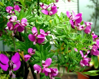 Polygala myrtifolia~September 'Butterfly' Bush~Magical floating butterfly blooms ~ 15 Seeds!