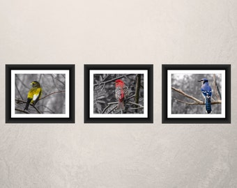 Bird Photography - A Pine and Evening Grosbeak, Blue Jay,  A Set of Three (3) Selective Color, Red, Yellow Bird Decor- Fine Art Photo -015