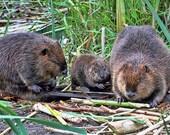 Beaver Print, Animal Gift, Baby Animal, Wildlife Photography, Animal Print, Family Print, Nature Photography, Animal Photo, Canadian Shops