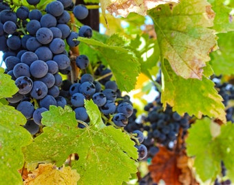 Vineyard Grapes, Winery, Wine, Grapes, Vine, Harvest, Paso Robles, California