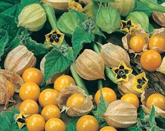 Physalis peruviana Cape Gooseberry Starter plant FREE SHIP