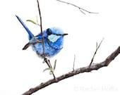 Blue Wren Drawing - Splendid Fairywren Original Artwork