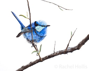Blue Wren - Splendid Fairywren Fine Art Print