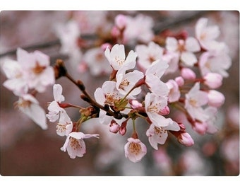 Postcard Item 1 Cherry Blossom (set of 5)