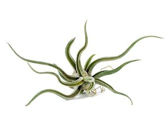 caput-medusae tillandsia airplant air plant
