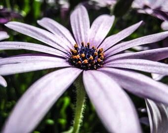 White Purple Lavender Daisy Macro