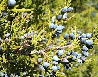 Eastern Red Cedar, Juniperus virginiana, Larval Host: Purple & Olive Hairstreak Butterfly, FREE Shipping!