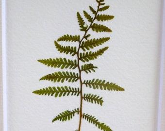 Real Pressed Fern Flower Botanical Art Herbarium Specimen of Lady Fern 3x5