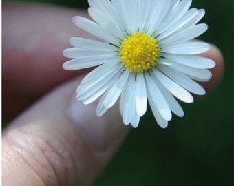 Greeting card Daisy