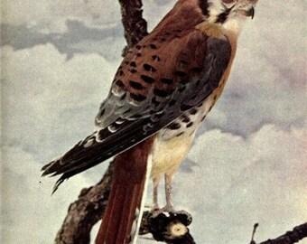 Vintage Bird Print, Antique Bird Print, Old Hawk Clipart, Old Hawk Print, Vintage Bird Prints, Antique Bird Prints, Old Hawk Clipart