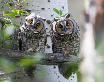 A Pair of Long Eared Owls