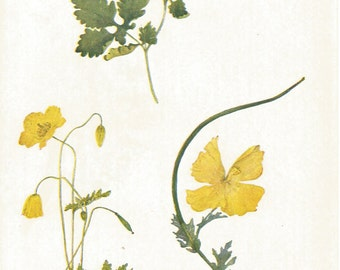 welsh poppy yellow horned poppy. flowers  of the fields by E N Gwatkin 1911 vintage botanical bookplate print.