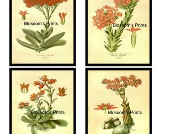 A foursome of Flower illustrations Crassula Falcata, Scarlet Crassula, Coty Leydon Retusa, Cobwebby Housleek