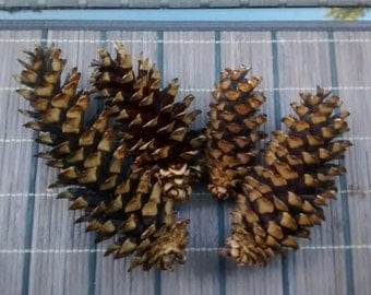 Natural Pine Cone Decorations - All Season - Long sized, Unpainted pine cones. Perfect for decoration and crafts! (Set of 6)