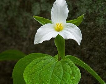 White Trillium,  Spring Wildflower
