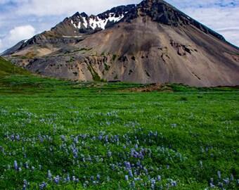 ICELAND!!! Lupine field