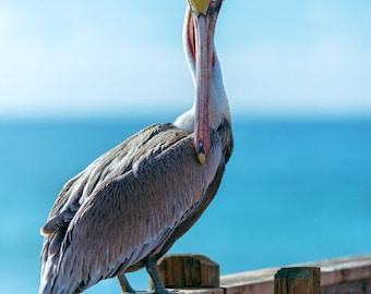 Brown Pelican on Ocean Pier